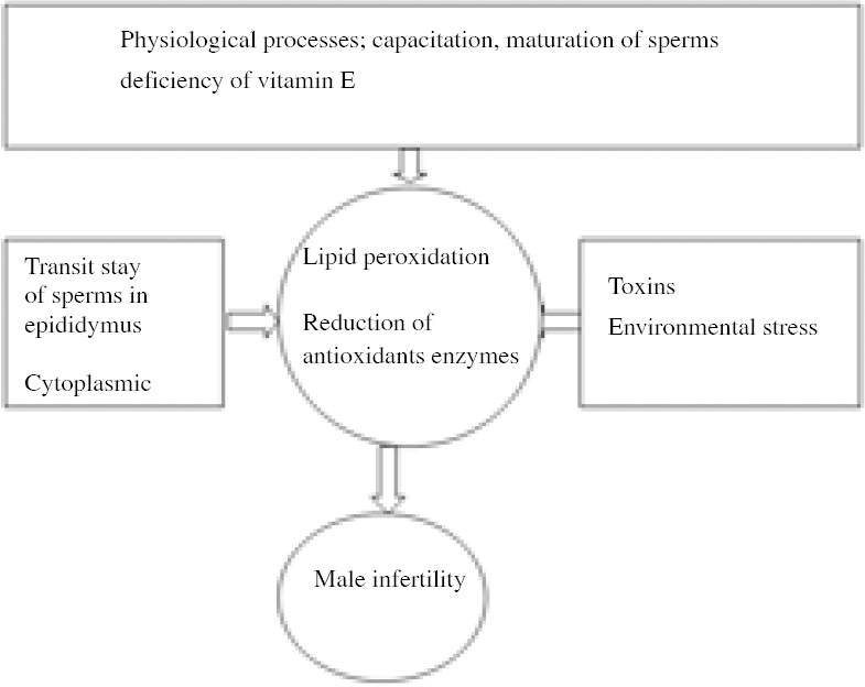 Effects Of Dietary Vitamin E On Male Reproductive System Zubair M